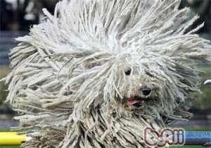 波利犬的品种简介-狗狗品种
